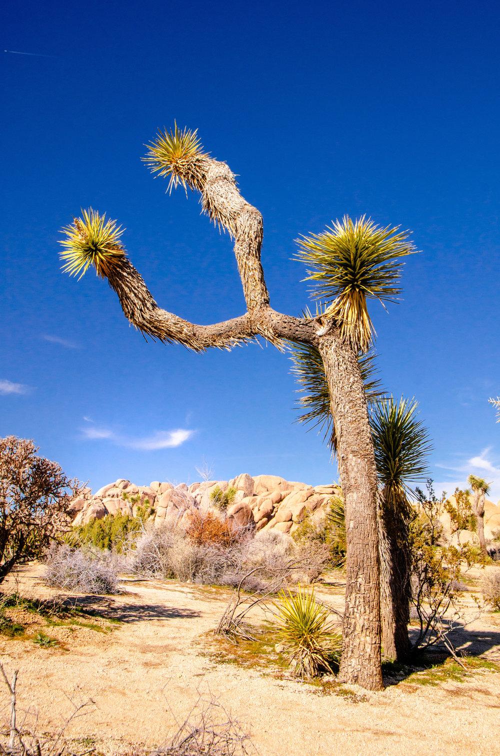 Joshua National Tree, CA
