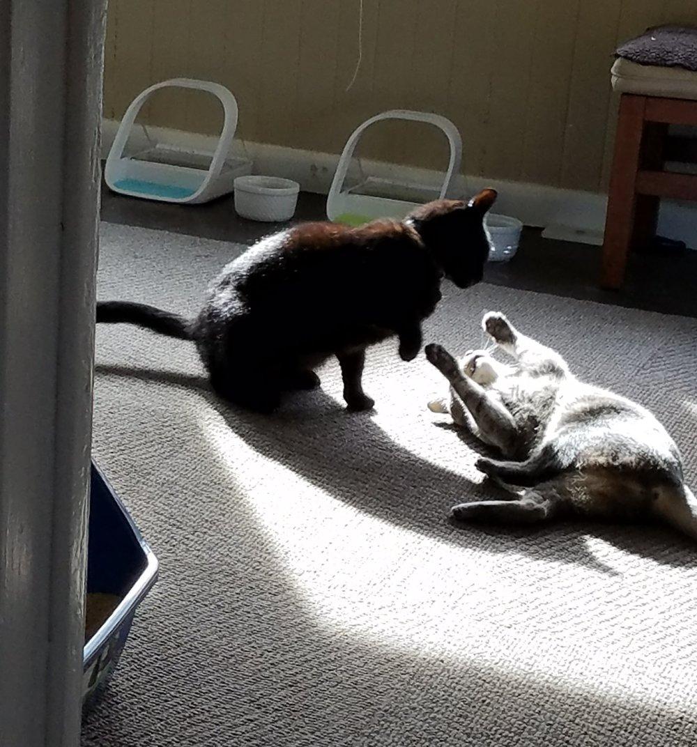 Client cats Maggie and Diablo wrestle in front of their Surefeeders after a good meal