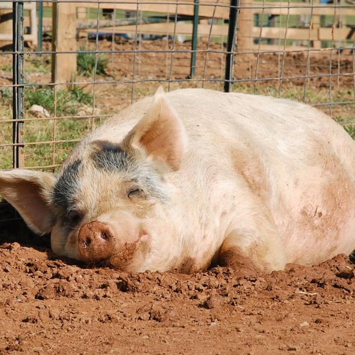 pigs_web.jpg