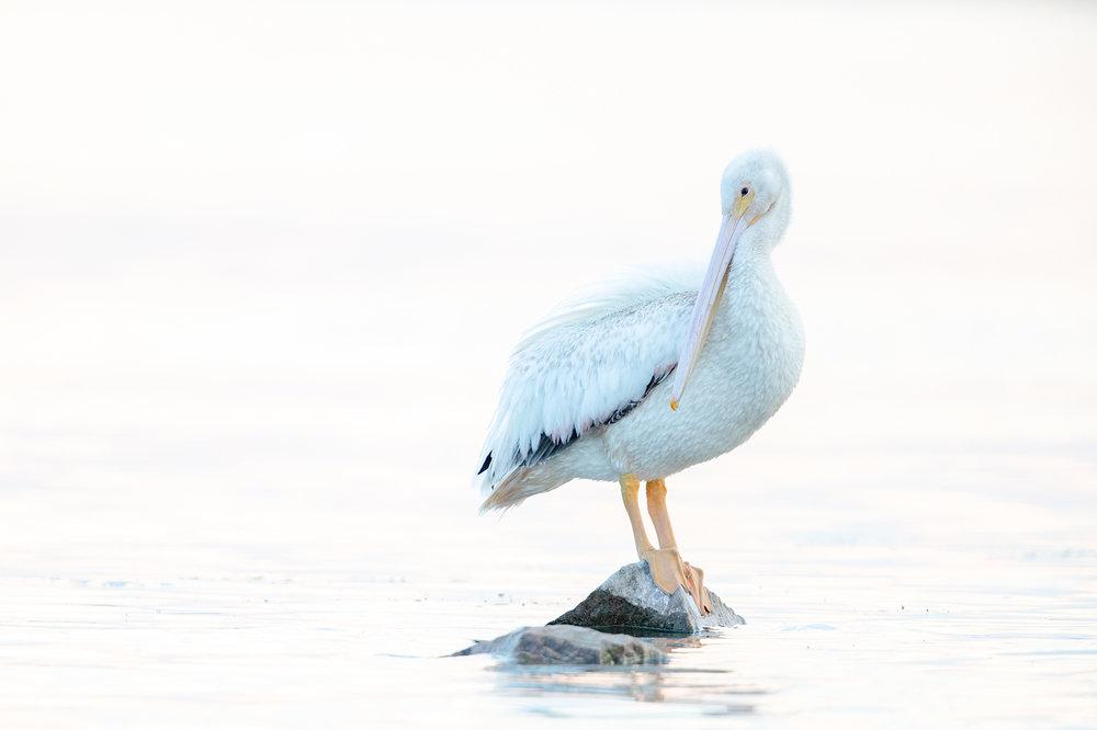 White_Pelican_E2I6474.jpg