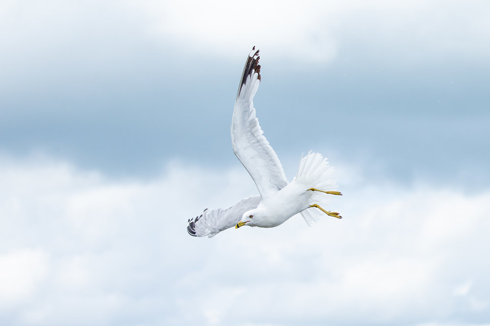 Ring-billed_Gull_Z0U2162.jpg