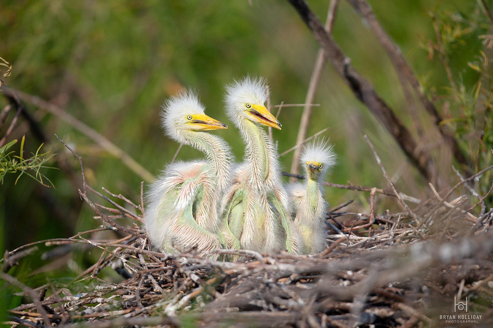 GreatEgret_nestlings_Z0U9373_web.jpg