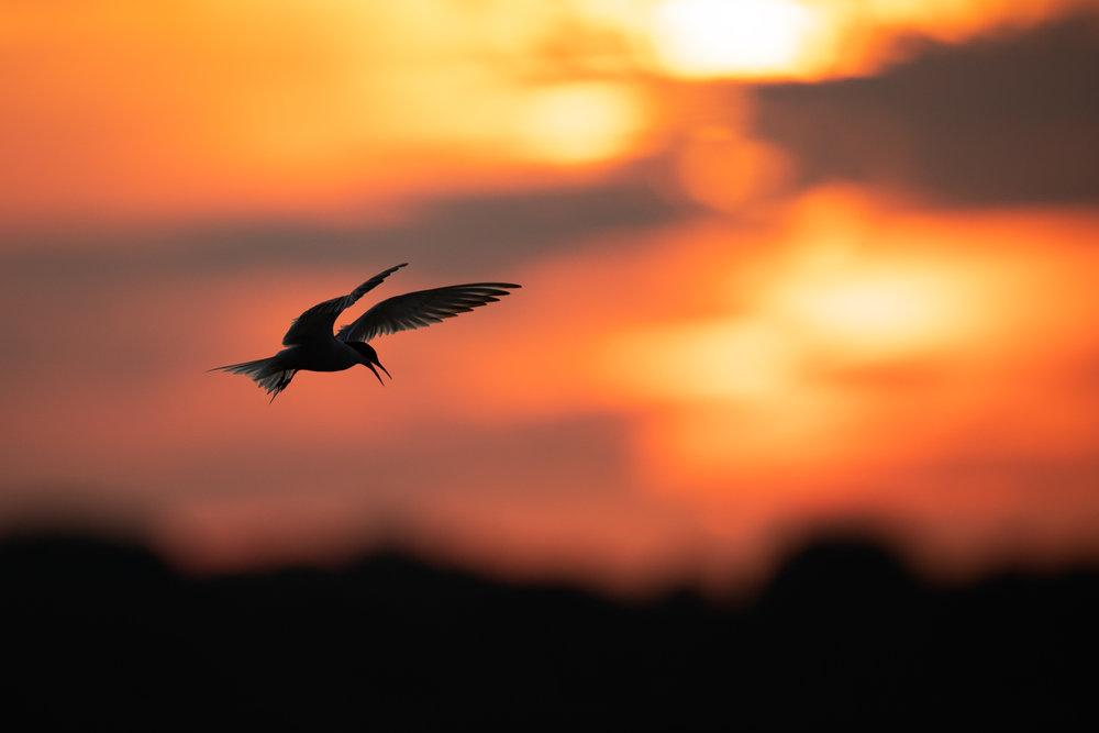 Tern_sunrise_E2I1733_MASTER.jpg