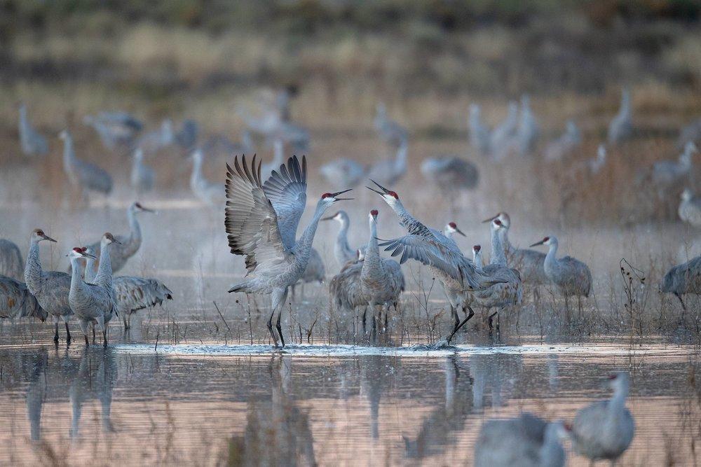 Sandhill Cranes bugling