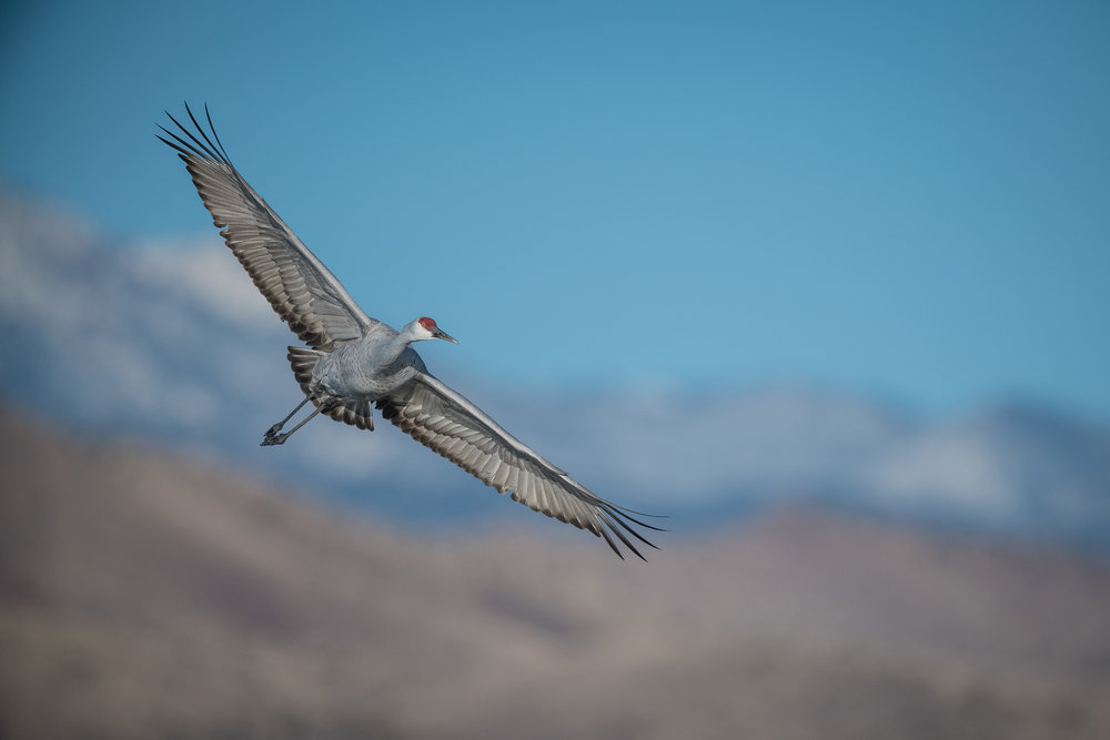 Sandhill Crane with snow-capped mountains