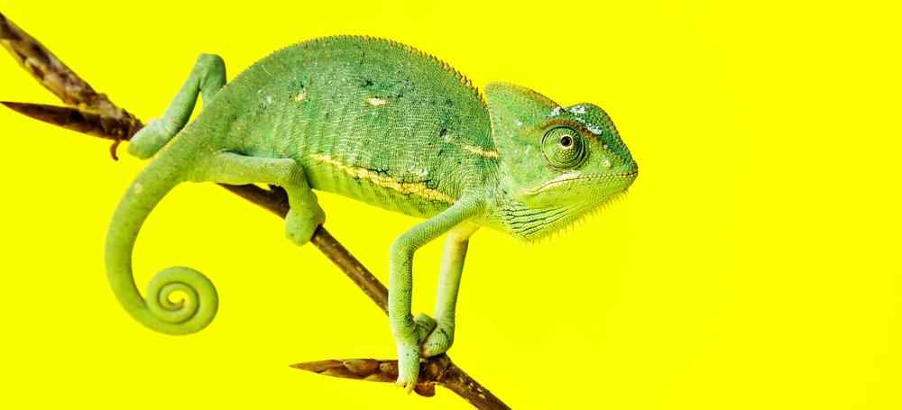 Chameleon-e1435237233642.jpg