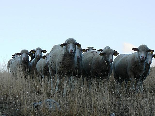 Marcelli Formaggi Sheep