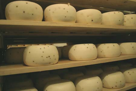 After draining in a temperature controlled room for a few days, the San Andreas are transferred to an aging room. These wheels are San Andreas pepapto, a sheep's milk pecorino style cheeses flecked with peppercorns.