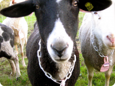 Lily, a Bleating Heart Milker