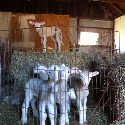 Bleating Heart babies, otherwise known as lamb snuggle bunnies.