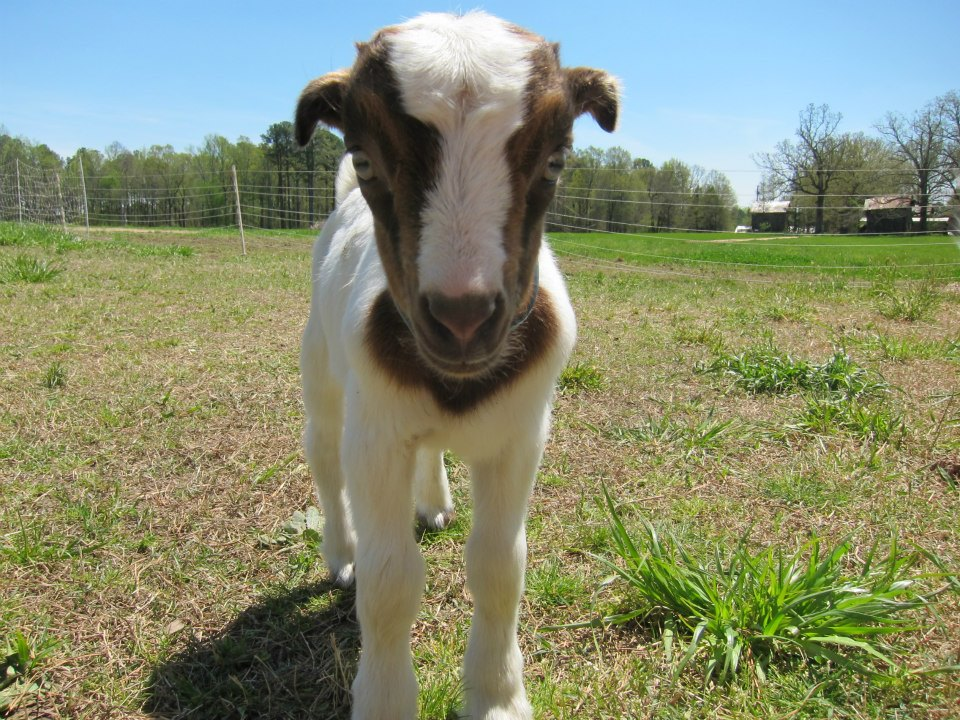 Goat, the goat's name, from Prodigal Farm says goodbye.