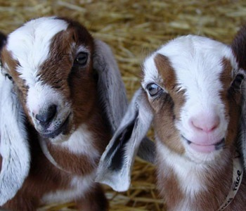 Goats from the Goat Party at the Ferry Plaza this Saturday- can we make them stay this small?