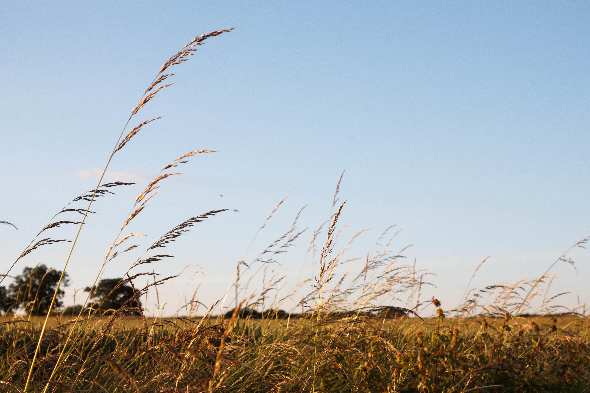 Long grass summer field