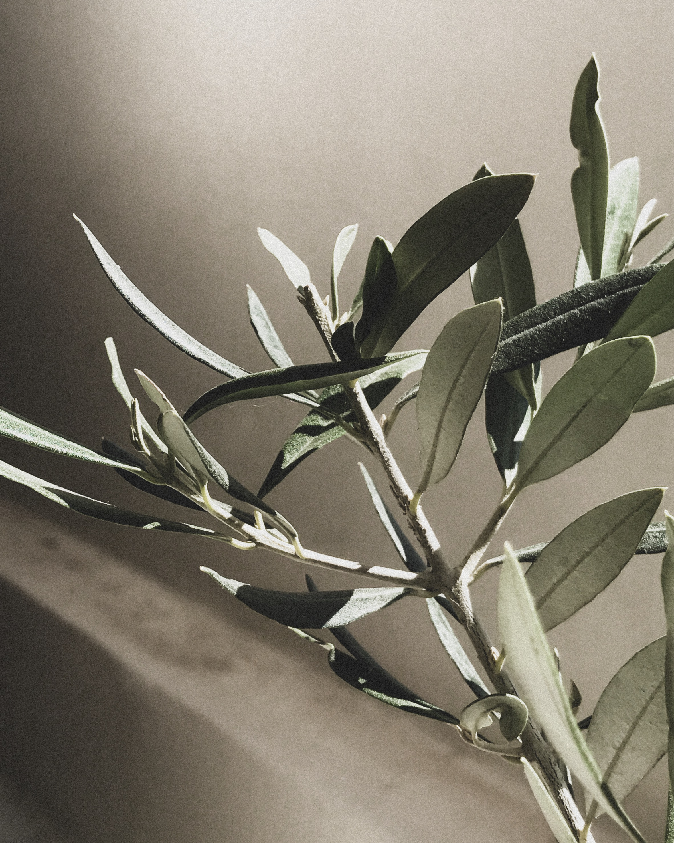 Olive Tree Branch and Leaves