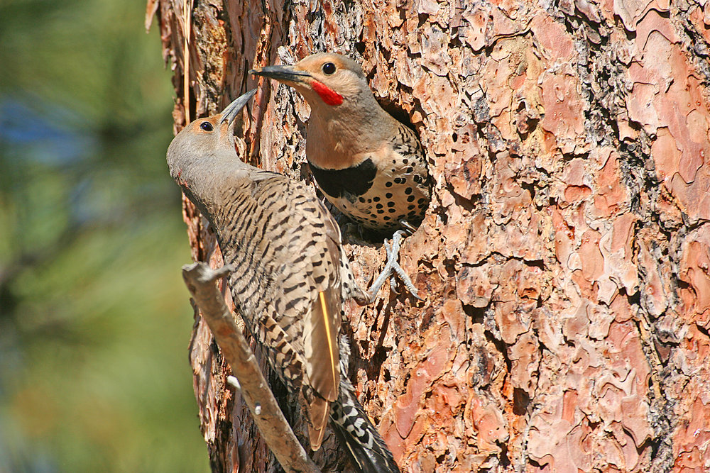 a pairof northern flickers.jpg