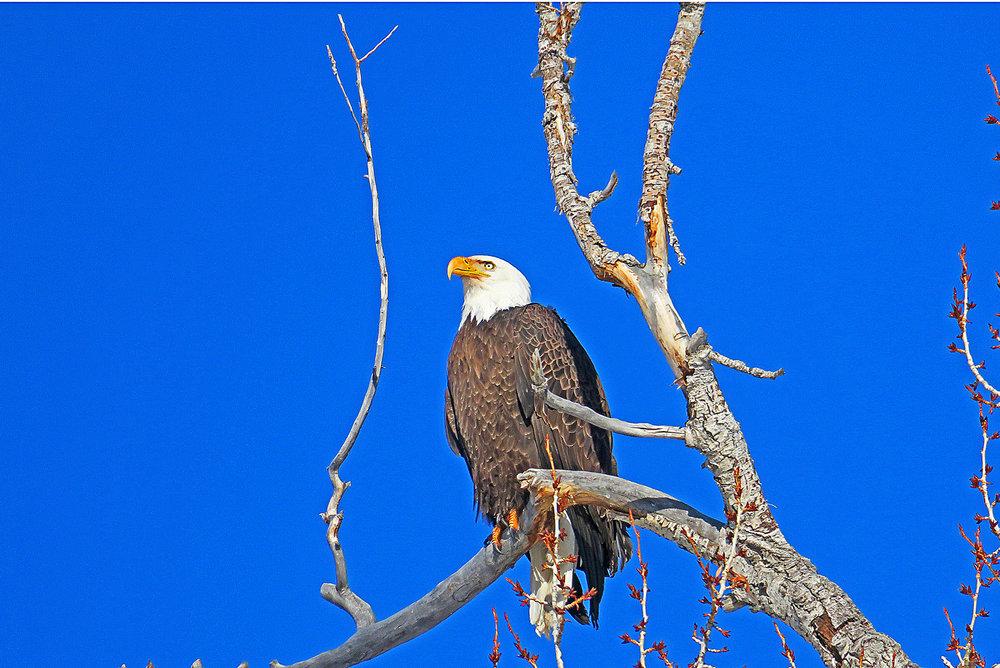 Bald Eagle_edited-2.jpg