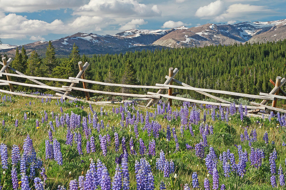 Big horns and lupines 4 X 6.jpg