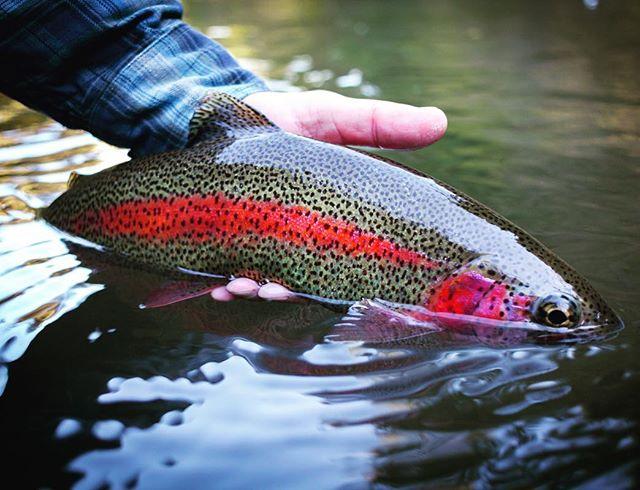 We have some of the best looking fish here in Oregon.  #redbandtrout #flyfishing #pnwonderland #oregonflyfishing