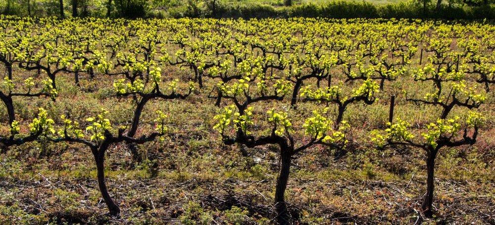 spring-grape-vines.jpg