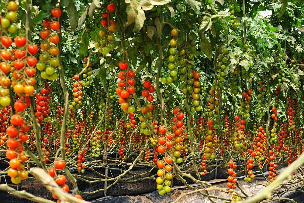tomatofarm.jpg