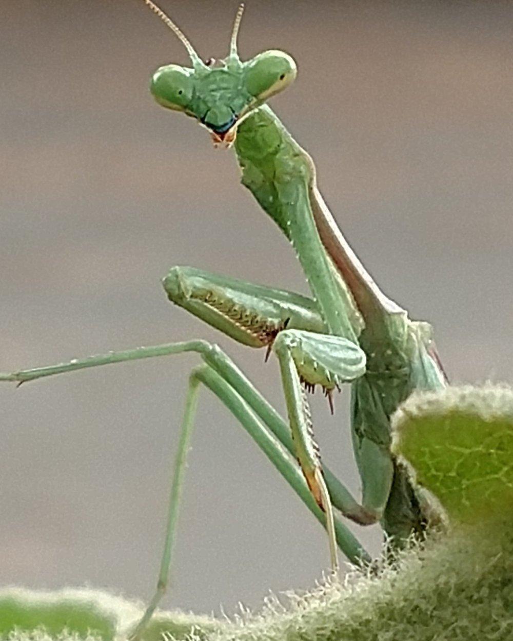 Common vineyard beneficial insect, preying mantid. Monserate Vineyard, Fallbrook, CA