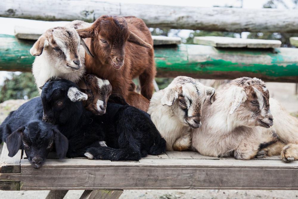 14-Baby-Goats.jpg