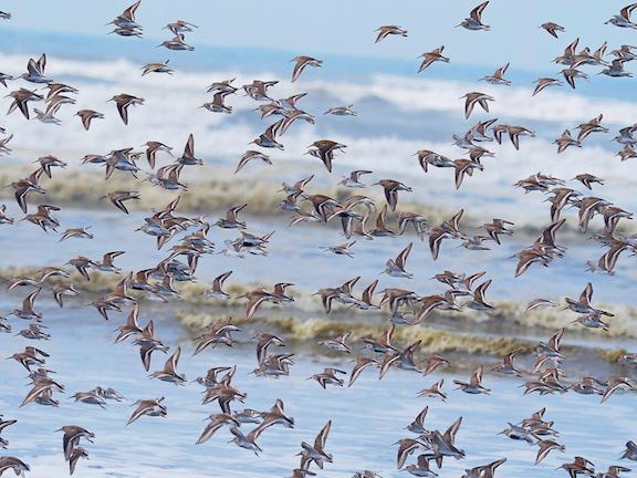 medleygulls