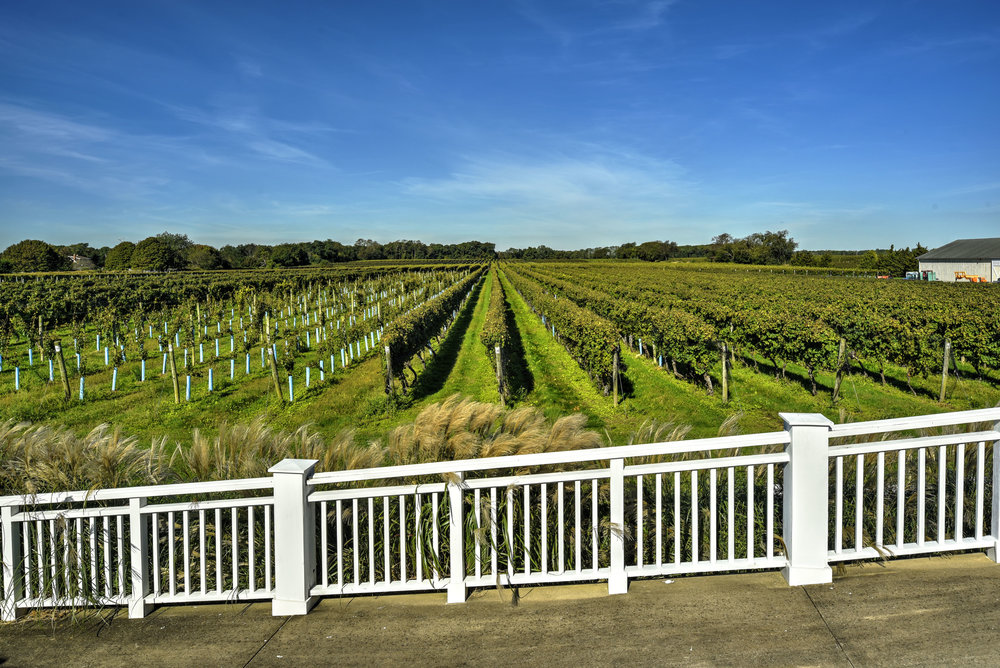 Vineyard - The nearly 30 acres of grapevines on the Main Road Bedell vineyard includes 10 varieties of grapes including vines that are up to 40 years old. Fully irrigated, this vineyard, like all of Bedell's locations are Certified Sustainable.