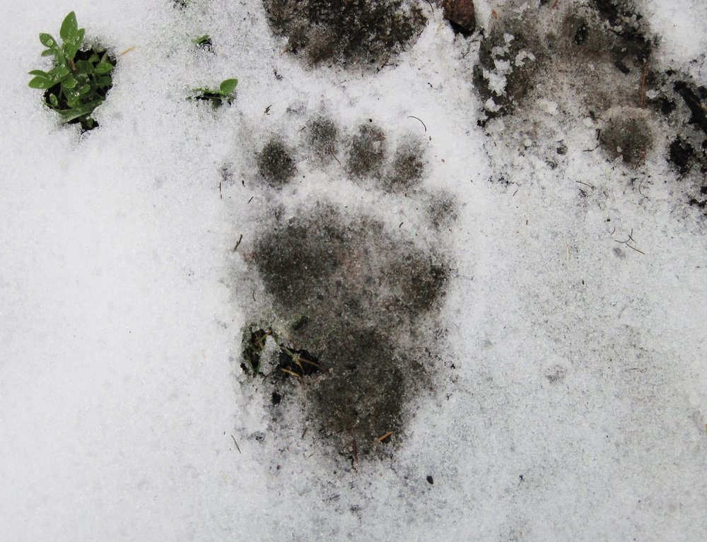 Black bear tracks in the Pintler Range, Northern stretch of the Sacred Door Trail.