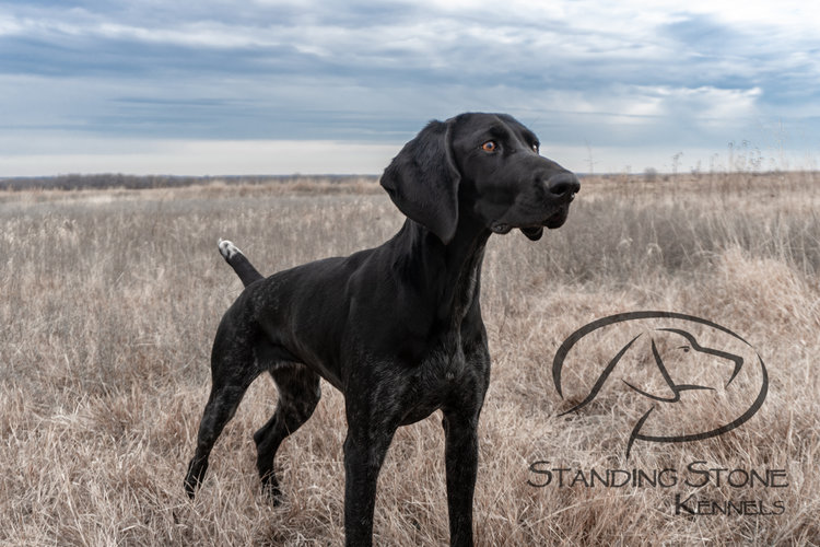 German Shorthaired Pointer Dams Standing Stone Kennels
