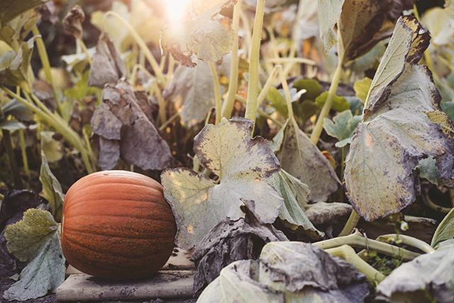 Halloween is in 55 days 🎃🖤🧡 • • #niagaraparks #niagaraparksbotanicalgardens #schoolofhorticulture #autumn #fall #september #halloween #pumpkin #goldenhour #vegetablegarden #niagaraphotographer #ottawaphotographer #nikon #d750 #greaterthangatsby #fineartphotography #naturallight #discoverniagara