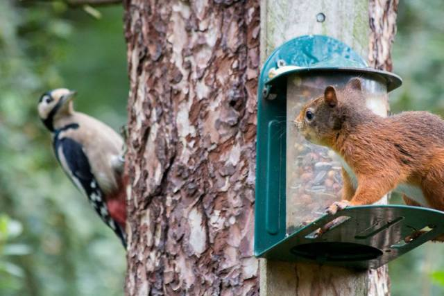 Red squirrels have to share the feeders with a number of birds, including great spotted woodpeckers.