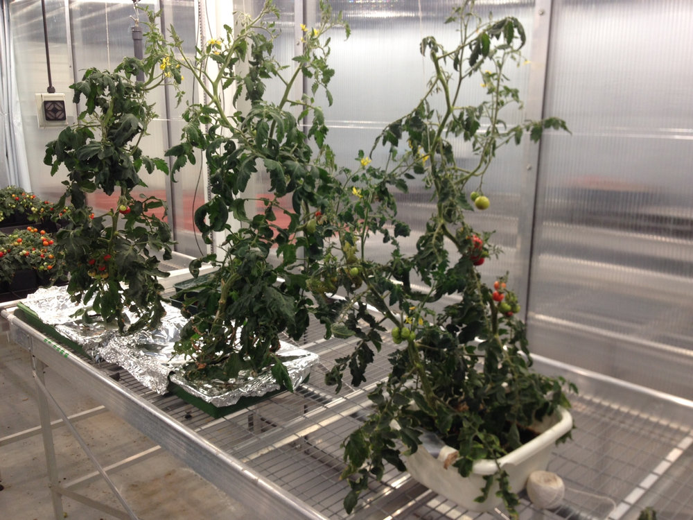 Tomatoes grown from mattress sponge and yoghurt pots.
