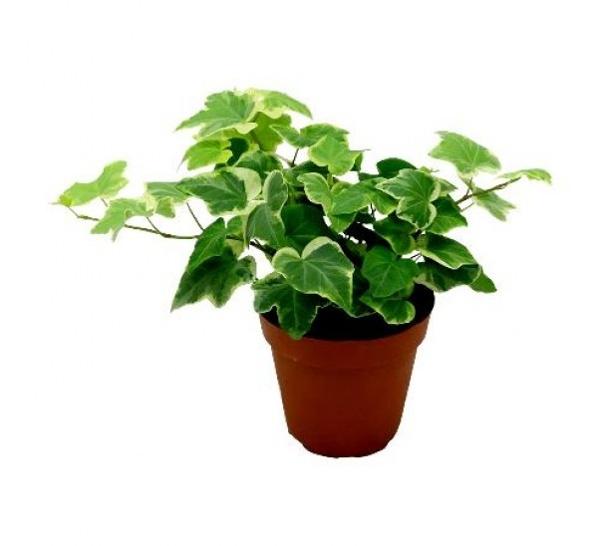 pg-english-ivy-variegated-600x548.jpg