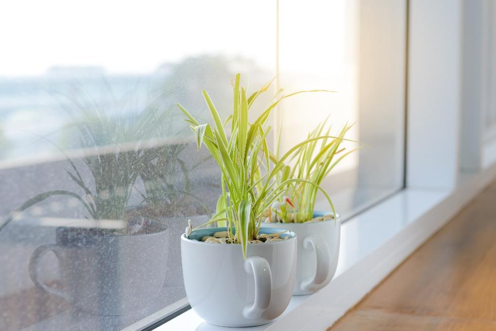 Spider Plant Main.jpg
