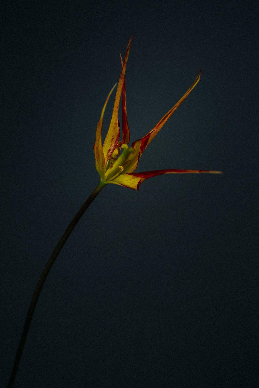 Broken Tulip With Ronald van der Hilst