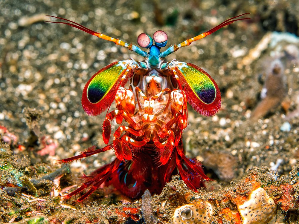 Mantis shrimp for which the MANTIS Lab is partially named (photo courtesy of wired.com).