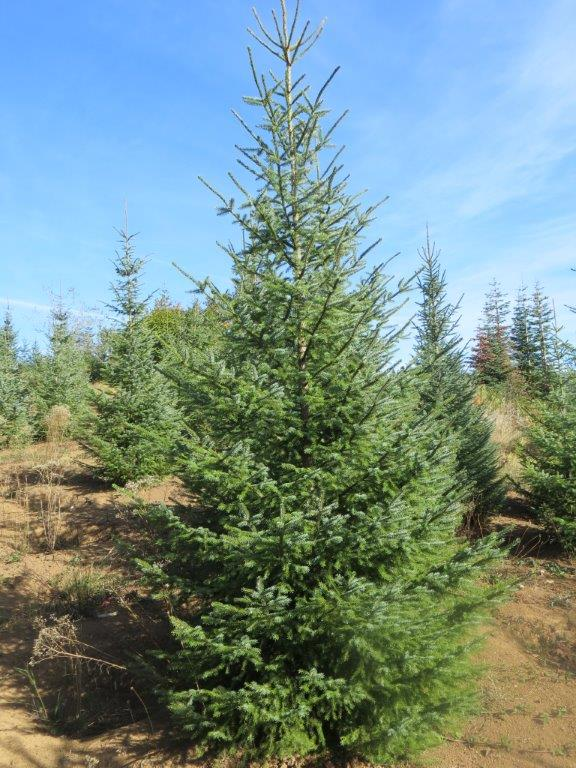 Serbian Spruce (3).jpg