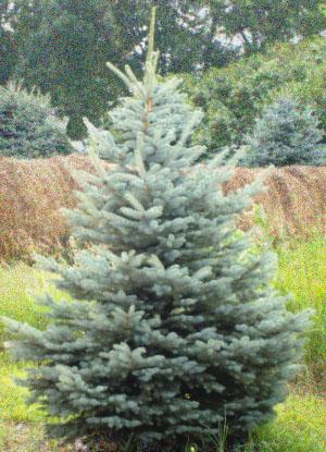 Colorado_blue_spruce_tree_09 Jpg