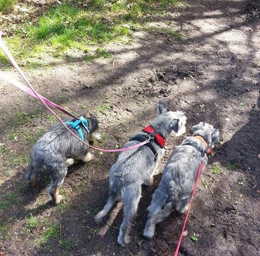 Pippa out for a walk with her sisters Fifi and Gemma