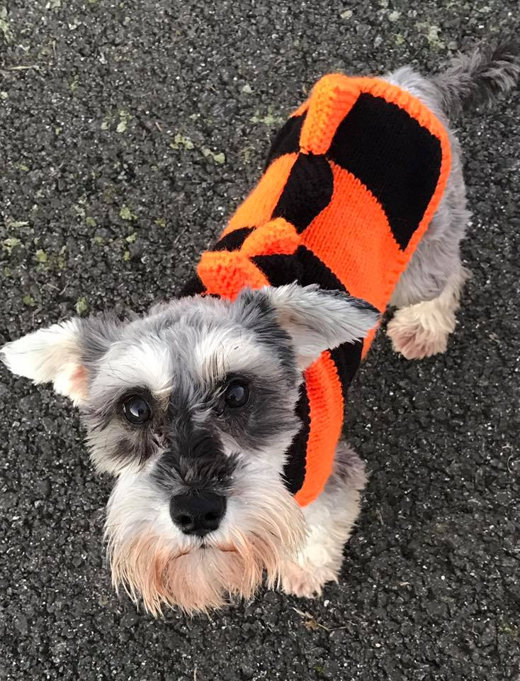 Daisy in her Schnauzerfest colours, with her shiny lovely new eyes post cataract surgery, Dec 2016
