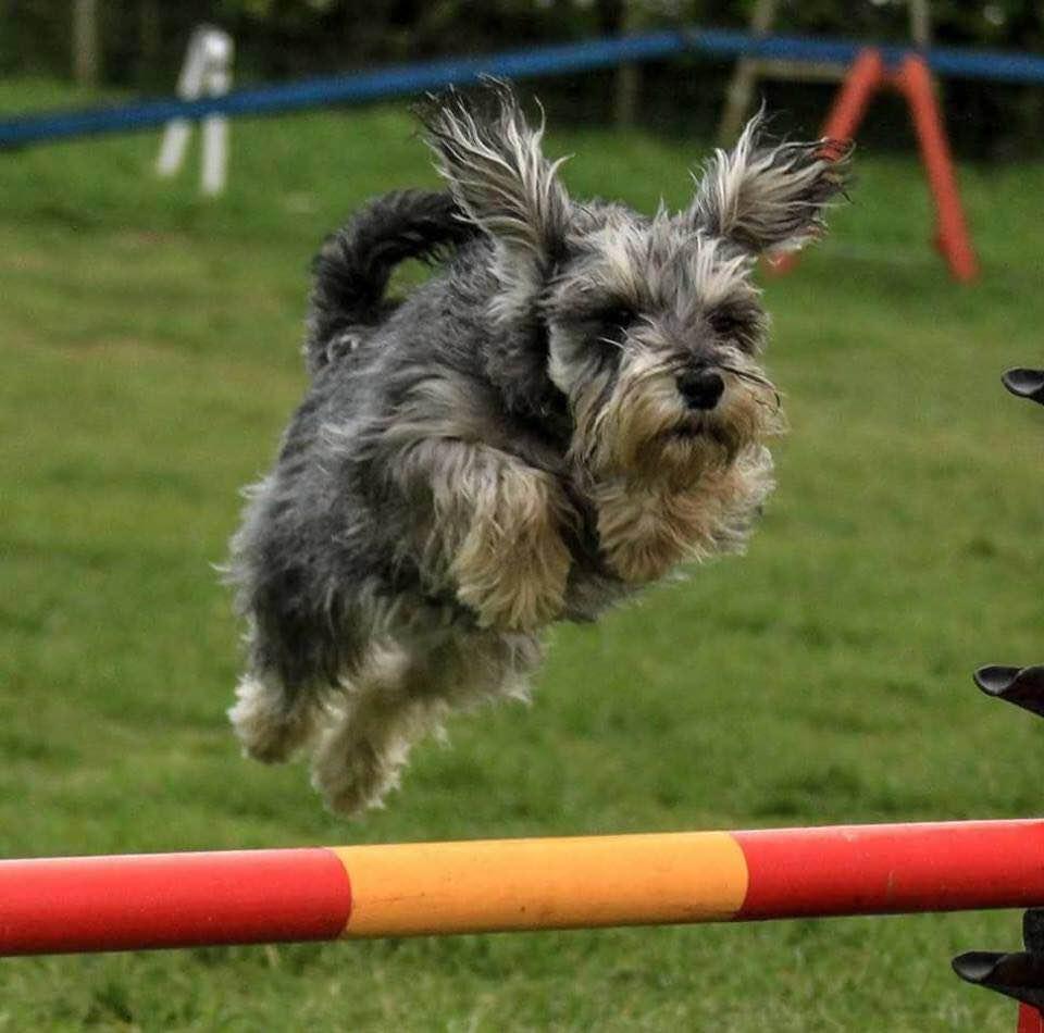 Mildred enjoying agility