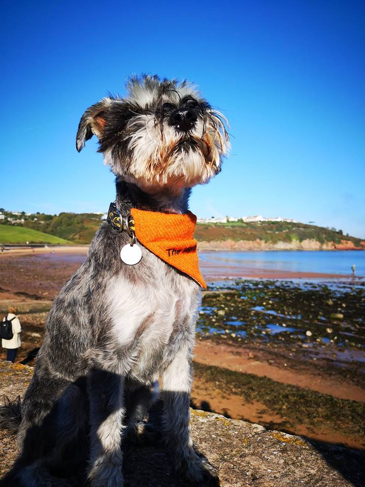 Dawlish Warren Beach Schnauzerfest 2018