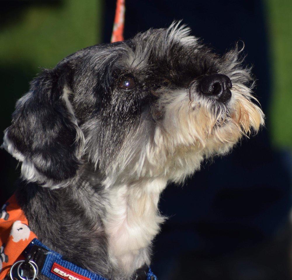 Merlin, November 2018 at the Susie-Belle Memorial Walk