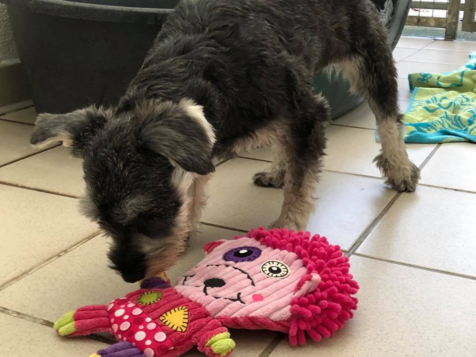 Nova, Christmas Day, 2018 with one of her presents. Photo from DBARC volunteer Julia (mum to Nellie the Noodle), who helped make Nova's Christmas day special.