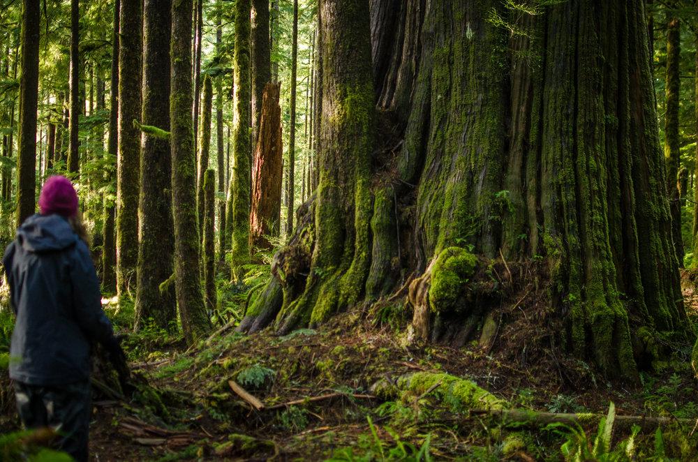 Big Cedar in Eden Grove