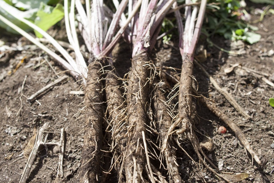 Burdock-root-.jpg