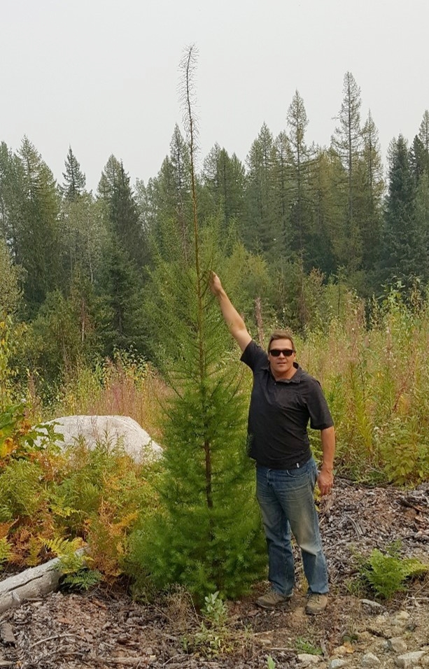 Photo was taken August 2017 of a Larch tree planted in May 2015 during ATCO Wood Products and Greenpeaks Guinness World Record tree plant.
