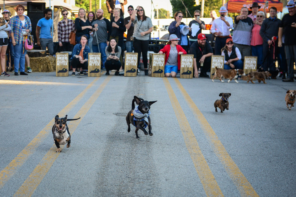 Dachshund Races at Germantown Oktoberfest