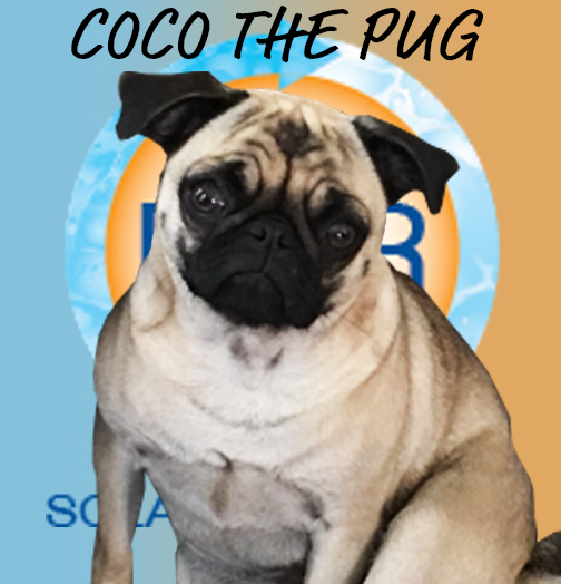 Ms. Coco is a 4 year old Pug, who loves brocolli, snuggles, and playing with anyone who wants to give her love. She is our office mascot and keeps everyone in check. Absolutely everyone loves her, I mean… just look at that face!